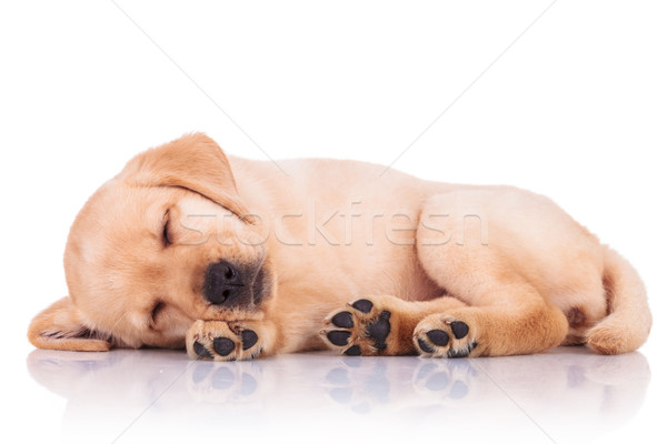 little labrador retriever puppy dog showing its paws while sleep Stock photo © feedough