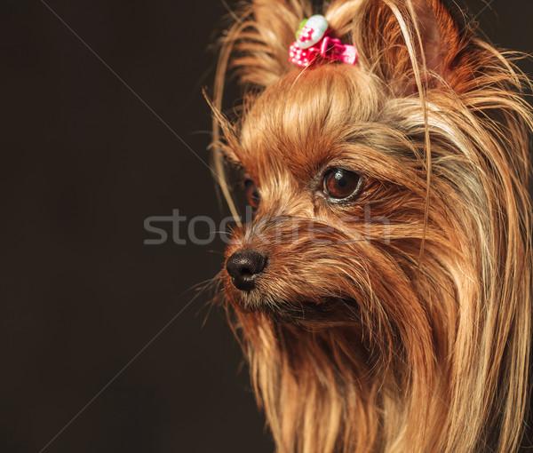 Yorkshire terriyer köpek yavrusu köpekler kafa Stok fotoğraf © feedough