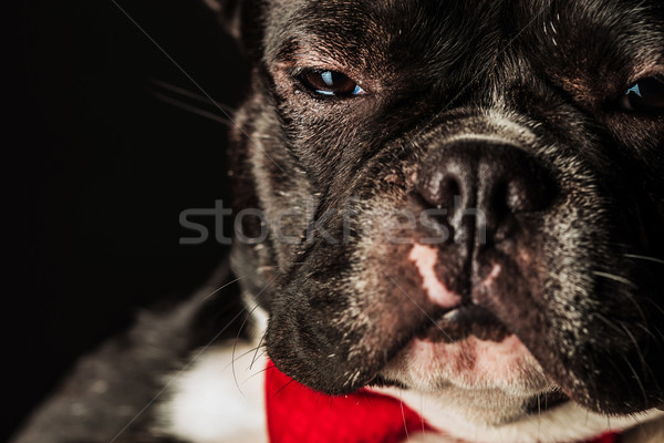 french bulldog puppy dog wearing bowtie looking like a boss Stock photo © feedough