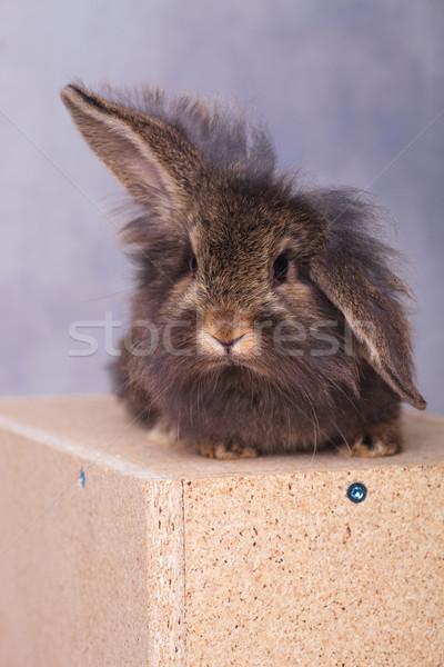 Lew głowie królik bunny drewna polu Zdjęcia stock © feedough