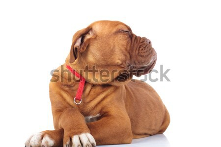 smug and arrogant little puppy with head to side Stock photo © feedough