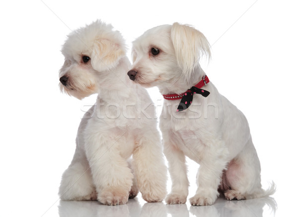 adorable bichon couple looking down to side Stock photo © feedough