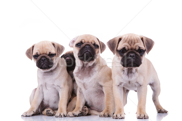 three sad pugs and an adorable one hiding behind them Stock photo © feedough