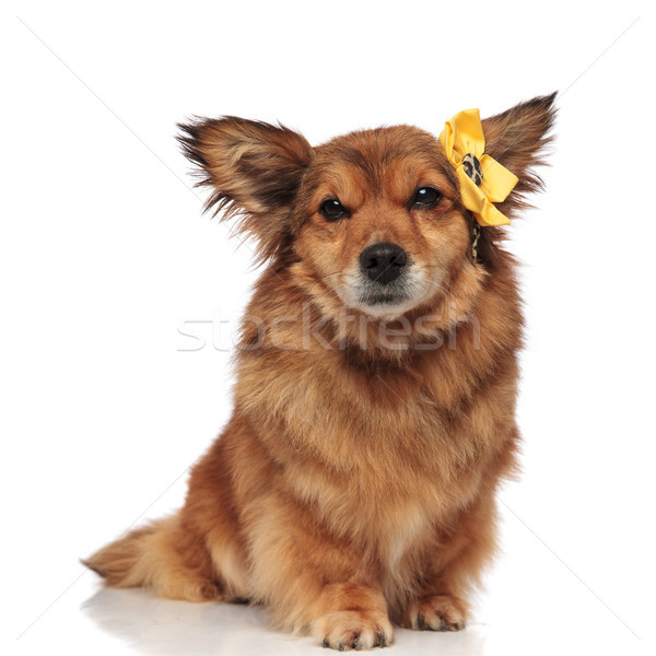 adorable brown furry dog with yellow flower accessory on head Stock photo © feedough