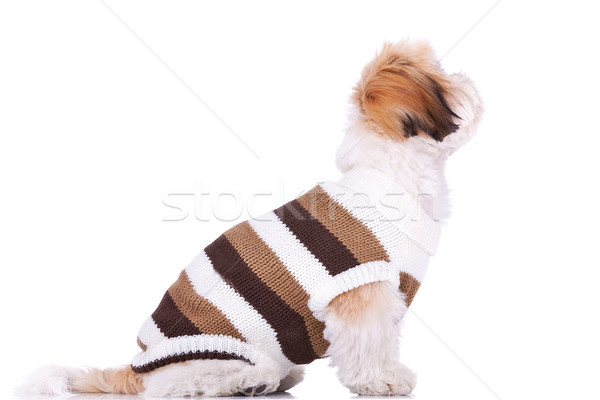 Stock photo: dressed shih tzu puppy looking up at something