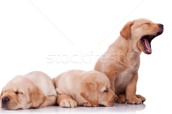 Stockfoto: Weinig · labrador · retriever · puppies · drie · aanbiddelijk · twee