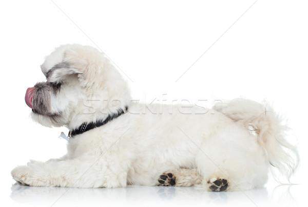 Sevimli havanese burun yandan görünüş beyaz köpek yavrusu Stok fotoğraf © feedough