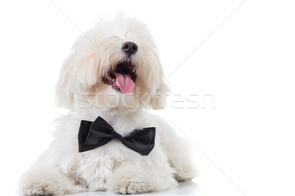 bichon puppy with mouth open and tongue exposed  looks  up Stock photo © feedough