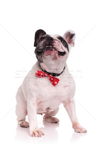 happy french bulldog wearing bowtie looks like it is laughing  Stock photo © feedough