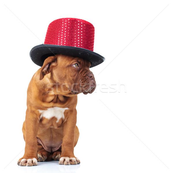 Сток-фото: Cute · французский · дог · щенков · красный