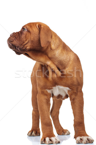 curious dogue de bordeaux puppy looks to side Stock photo © feedough