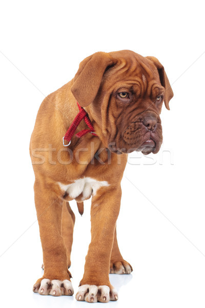 dogue de bordeaux puppy is standing  Stock photo © feedough