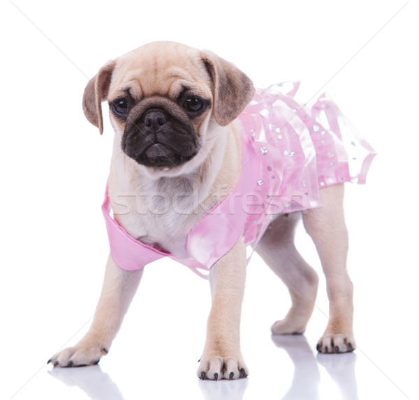adorable standing pug wearing a pink dress looks to side Stock photo © feedough