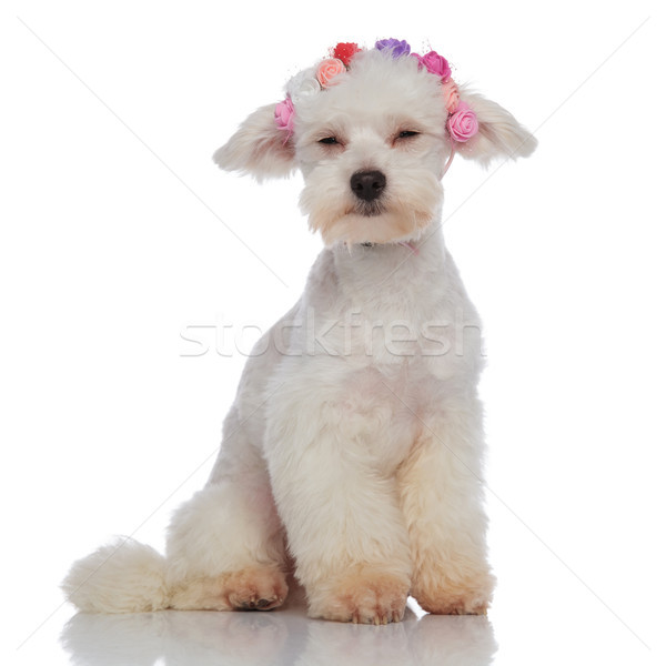 adorable bichon wearing colorful flowers crown closing its eyes Stock photo © feedough