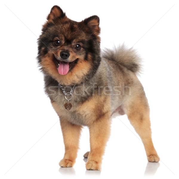 adorable pomeranian with necklace standing and panting Stock photo © feedough