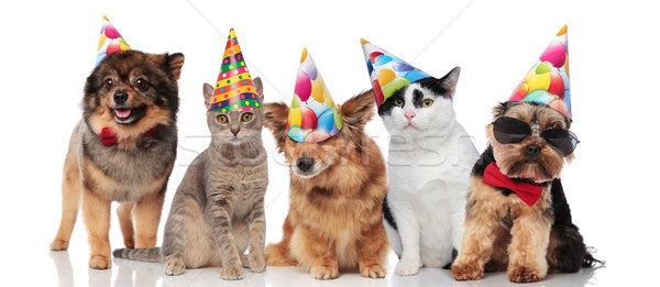 five cute party pets with colorful caps Stock photo © feedough