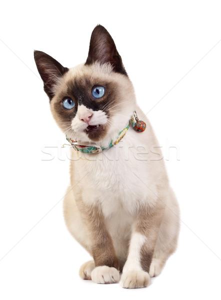 Foto stock: Curioso · mirando · gato · Foto · gato · siamés · blanco