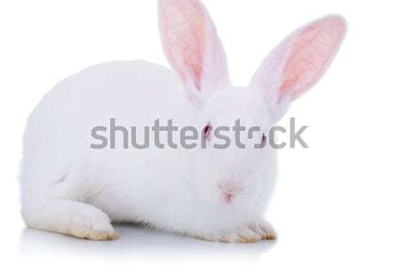 adorable white easter bunny Stock photo © feedough