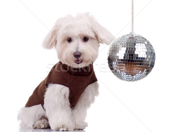 bichon and disco ball Stock photo © feedough