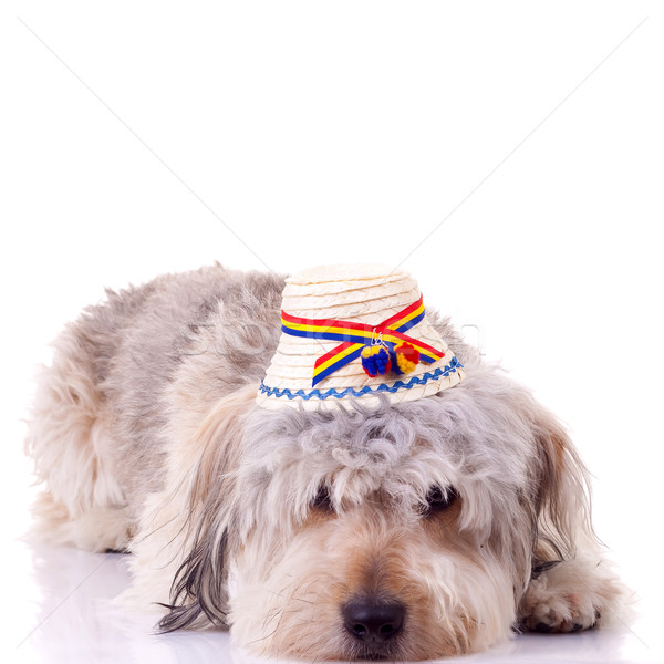 sad bearded collie puppy Stock photo © feedough
