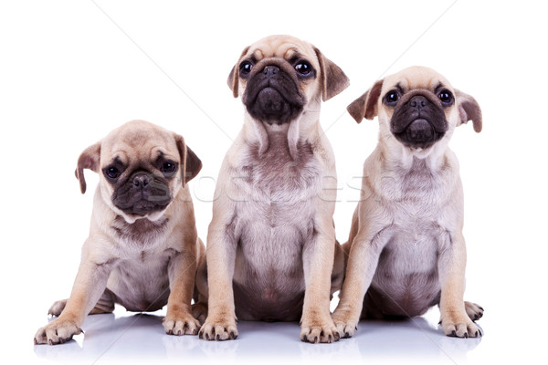 Сток-фото: три · прелестный · щенки · Cute · щенков · собаки