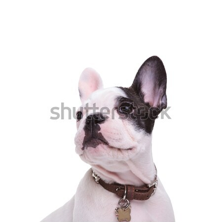 square picture of a cute french bulldog puppy dog posing Stock photo © feedough
