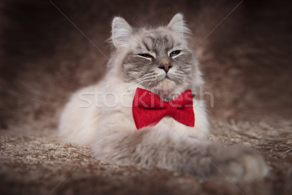 elegant beautiful cat wearing red bowtie has a superior look Stock photo © feedough