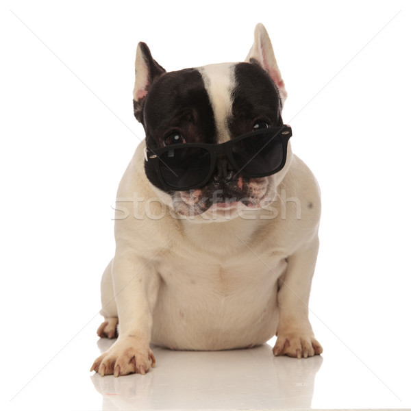cool french bulldog with sunglasses slipping down the nose Stock photo © feedough