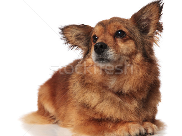 adorable lying brown metis dog looking up to side Stock photo © feedough