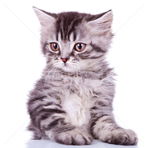 cute silver tabby baby cat Stock photo © feedough