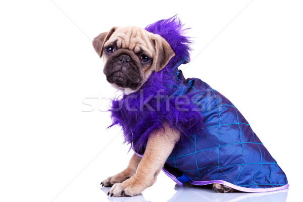side view of a dressed pug puppy dog Stock photo © feedough