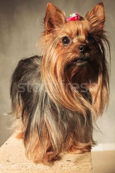 yorkshire terrier puppy dog  standing on a wooded box  Stock photo © feedough