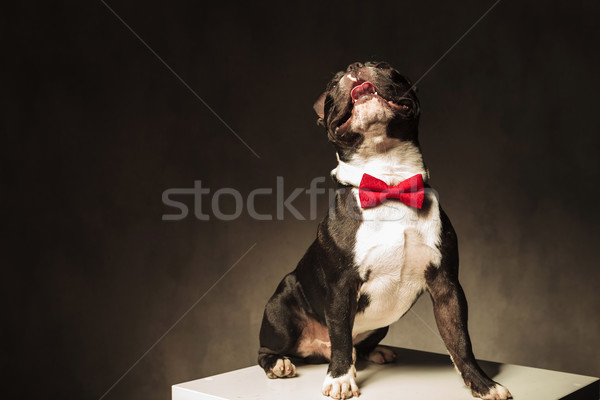 seated french bulldog puppy  wearing bow tie is looking up Stock photo © feedough