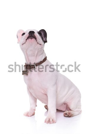 seated french puppy dog looking up  Stock photo © feedough