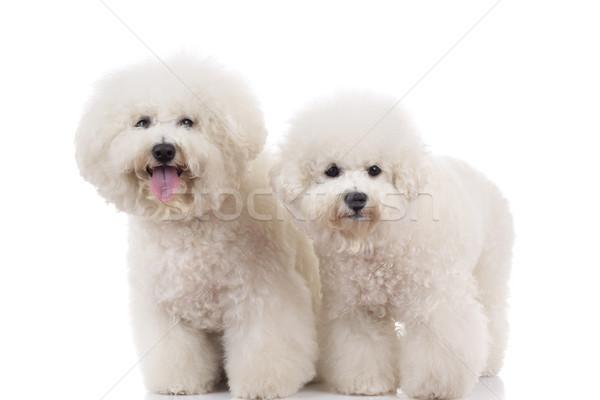 two cute bichon frise dogs standing  Stock photo © feedough