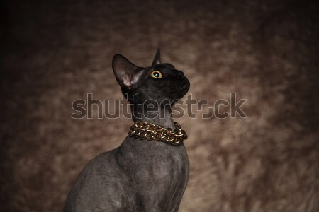 closeup of an adorable grey kitty looks up Stock photo © feedough