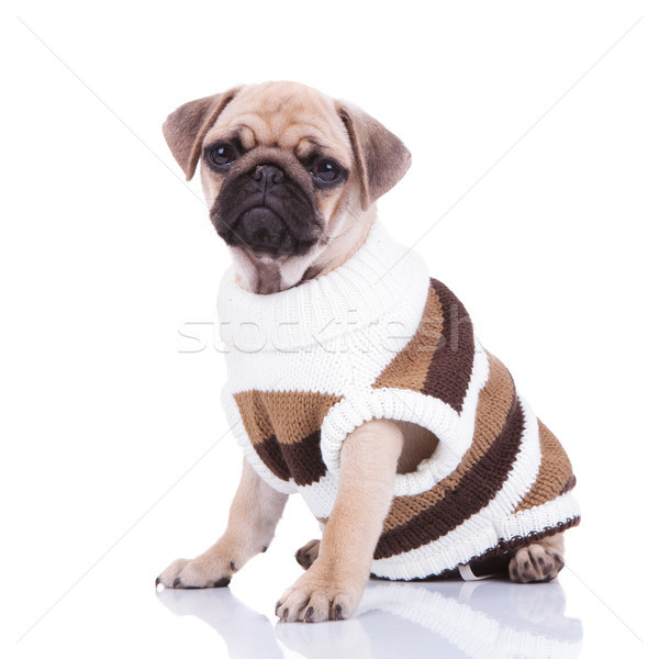 seated pug in comfortable handmade sweater Stock photo © feedough