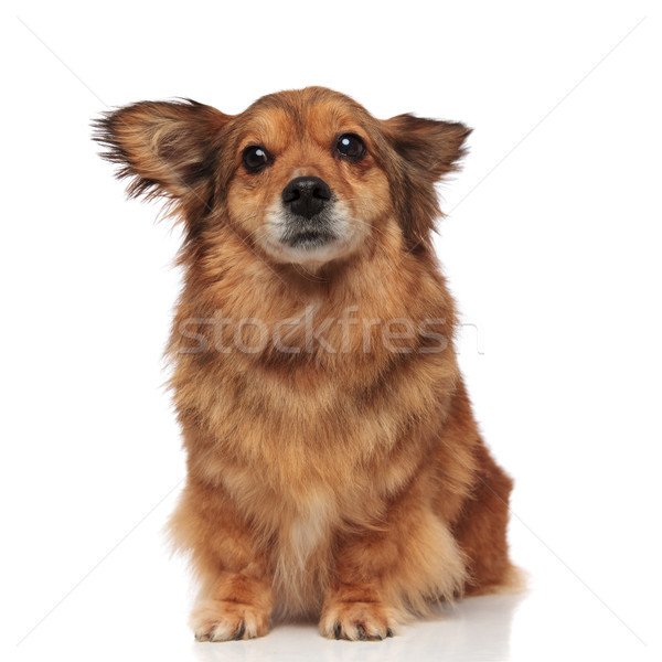 scared brown metis dog makes wide eyes Stock photo © feedough
