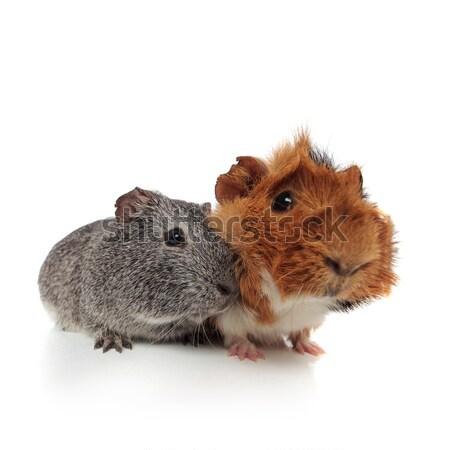 Due cute peloso cavia seduta bianco Foto d'archivio © feedough