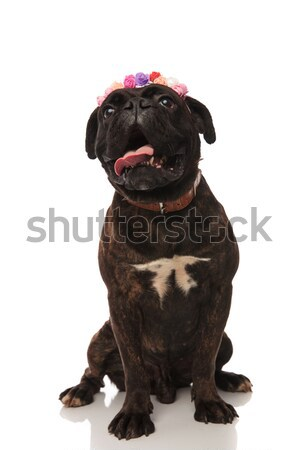 funny seated boxer with flowers crown looks up in awe Stock photo © feedough