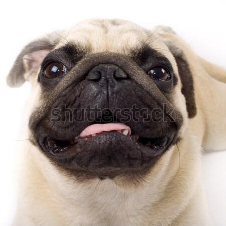 Studio Portrait of a  Pug puppy Stock photo © feedough