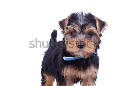 cute yorkshire with blue collar Stock photo © feedough