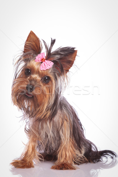 confused little yorkshire terrier puppy dog Stock photo © feedough
