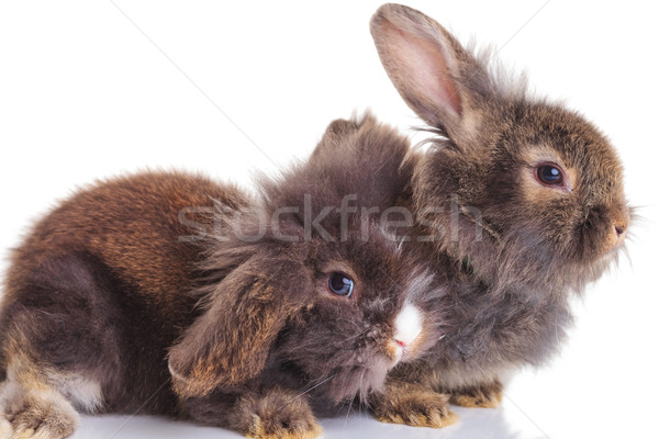 lion head rabbit bunnys lying down on white background. Stock photo © feedough