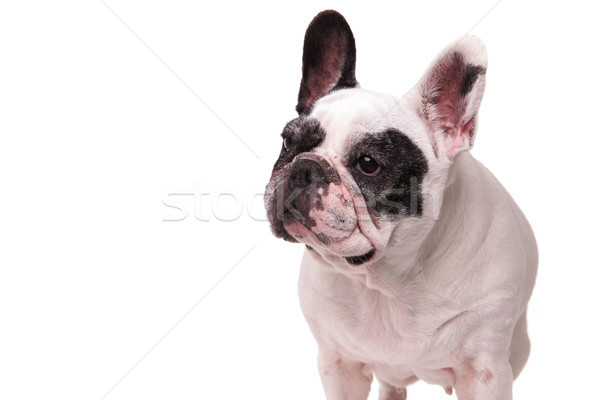 french bulldog looks to side away from the camera  Stock photo © feedough