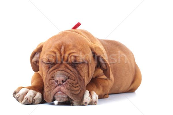 мало французский дог щенков спальный белый Сток-фото © feedough