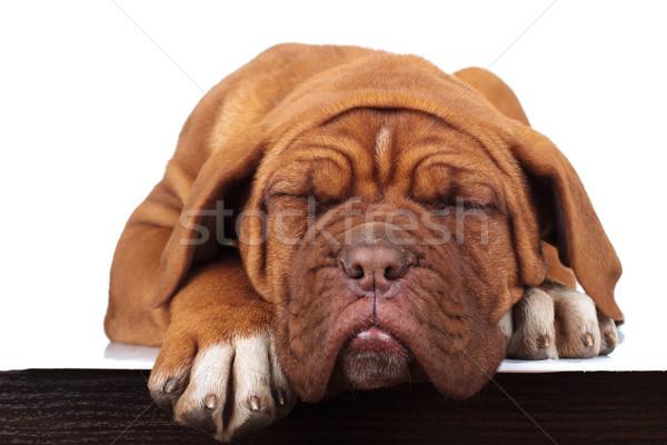 прелестный мало французский дог щенков спальный Сток-фото © feedough