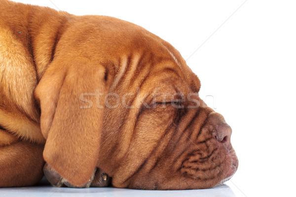 side of a sleeping puppy dog  Stock photo © feedough