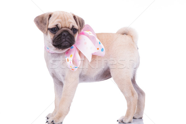 side view of adorable pug with colorful ribbon around neck Stock photo © feedough