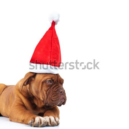curious dog with christmas hat looks for presents to side Stock photo © feedough